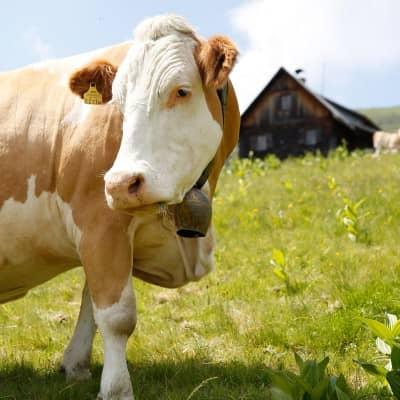 Mit der Kuh auf du auf der Alm der Familie Glawischnig-Hofer