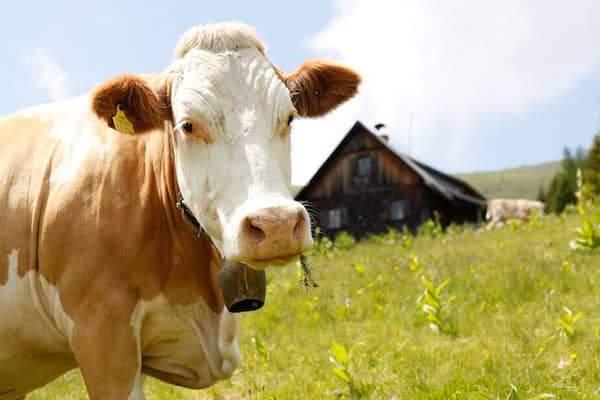 Mit der Kuh auf der Alm
