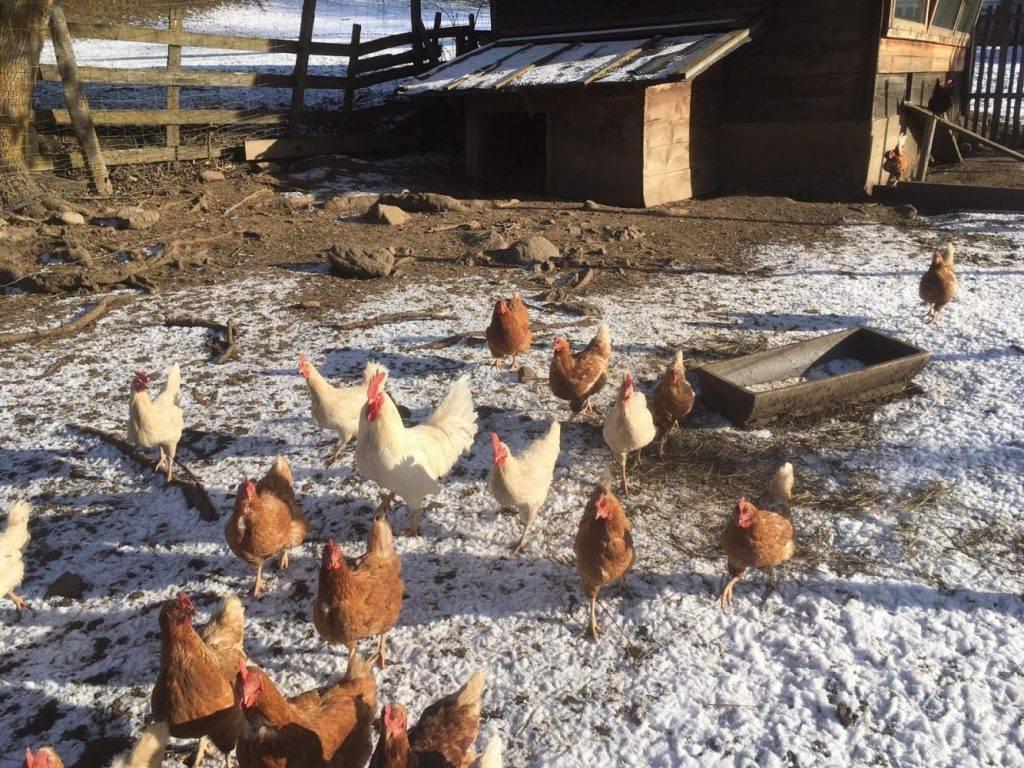 Freilandhühner auf dem Biobauernhof